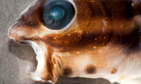The Fang Blenny - the colourful fish which can inject you with a heroin-like poison