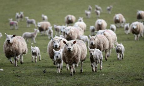 The Big Debate on sheep: 'It's not been the same since they closed the Glasgow sheep mines'