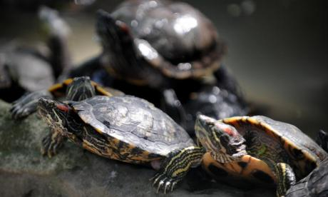 Parasite-like robots control where turtles roam by rewarding them with food