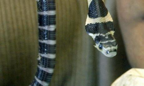Package of live snakes and geckos intercepted by customs officials