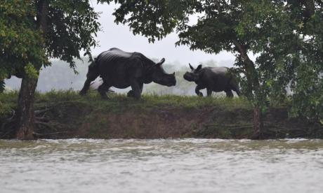 Rhinos at Kaziranga National Park surrounded by floodwater