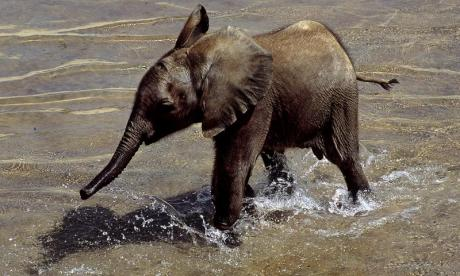 WATCH: Young elephant hilariously chases those rescuing it away
