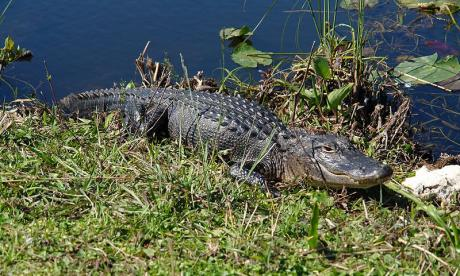 Floridians have been told to 'be aware' of the danger posed by giant reptiles