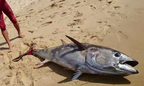 Frenchman catches enormous tuna and surfs to shore off Atlantic beach