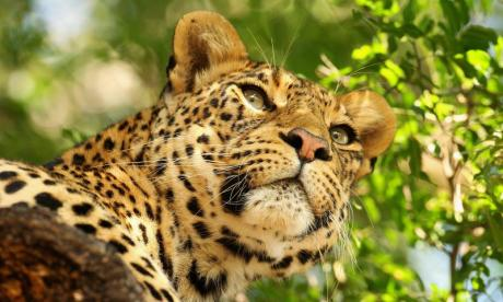 Search underway for leopard on the loose in Indian car factory