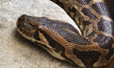 The python has escaped from its home in Cheadle (stock photo)