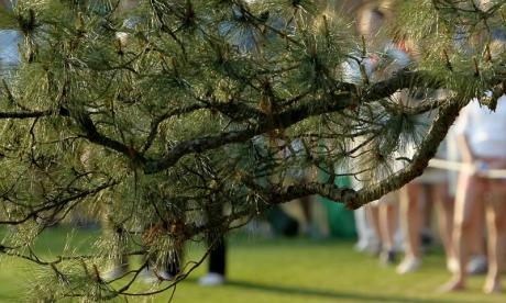 The Big Debate on pine: 'These pine addicts drop their needles where children and animals could find them'