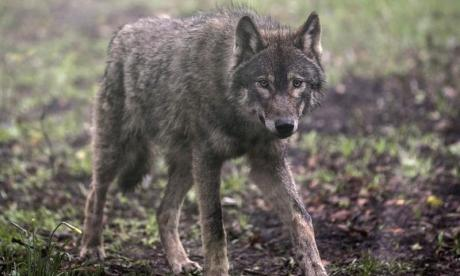 Wolf on the loose in Berkshire after escaping from enclosure