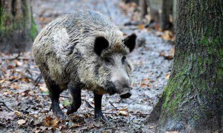 Wild boar rampages through Chinese village killing man