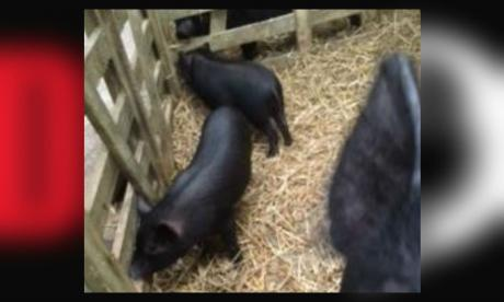 This photo shows the siblings of the piglet (Cleveland Police)
