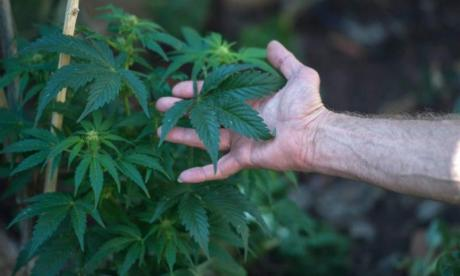 Full legalisation of cannabis in UK could take 'turbulent five to ten years'